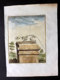 Buffon 1766 Antique Hand Col Print. Rodent Skeleton 10-24